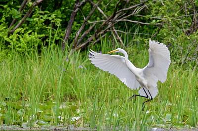 Photograph - Egret Landing by Michael Peychich