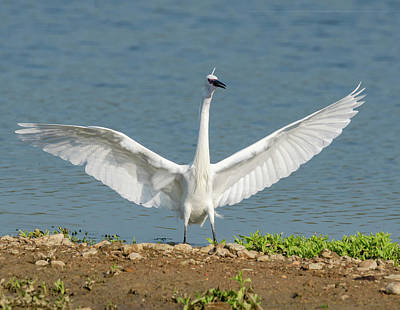 Photograph - Egret Landing by Scott Carruthers