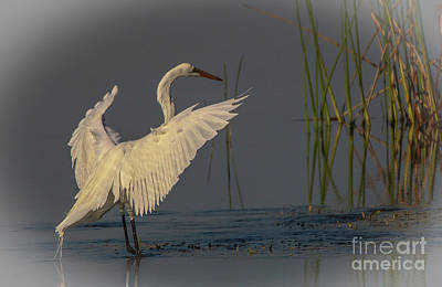 Photograph - Egret Landing by Tom Claud