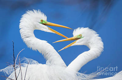 Photograph - Egret Love by John Roberts