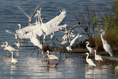 Photograph - Egret Mania 2 by Captain Debbie Ritter