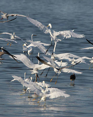 Photograph - Egret Mania 3 by Captain Debbie Ritter
