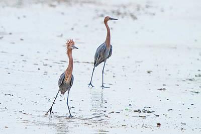 Gulf Photograph - Egret Mating Ritual by J Darrell Hutto