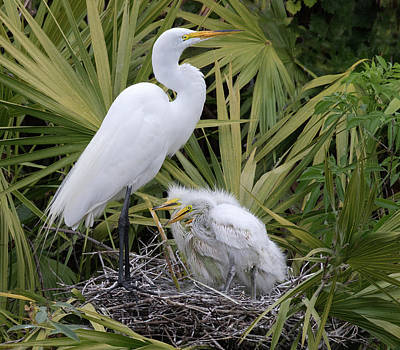 Photograph - Egret Nest by Art Cole