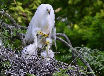 Photograph - Egret Nesting by Bill Hosford