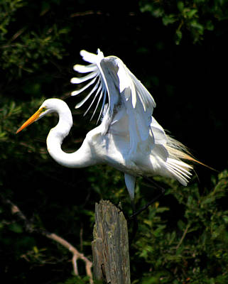 Photograph - Egret On A Piling by Christopher Kirby