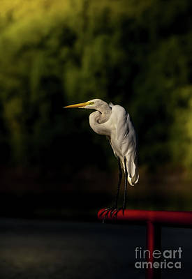 Photograph - Egret On Deck Rail by Robert Frederick