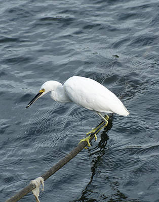 Photograph - Egret On The Munch by Margie Avellino