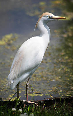 Photograph - Egret Or Crane by Marilyn Hunt