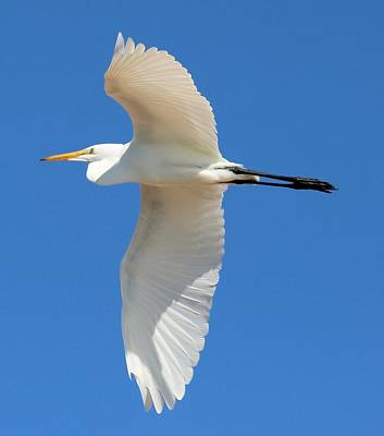 Photograph - Egret Overhead by Gary Canant