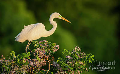 Photograph - Egret Overlook by John Roberts