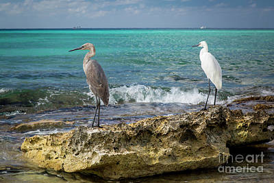 Photograph - Egret Pair by Brian Jannsen