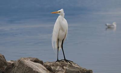 Photograph - Egret Perched  by Christy Pooschke