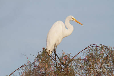 Photograph - Egret Perched On Tree Branches by Ruth Jolly