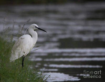 Photograph - Egret by Pietro Ebner