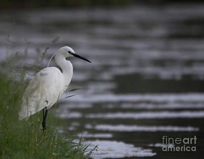 Photograph - Egret by Pietro Ebner