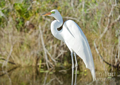 Photograph - Egret Posing by Judy Kay