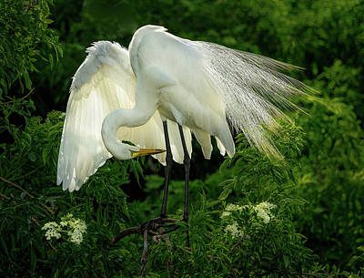 Photograph - Egret Preening by Steve Zimic