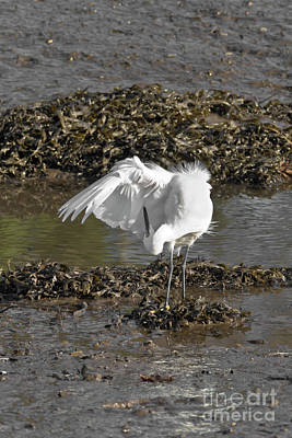 Photograph - Egret Preening by Terri Waters