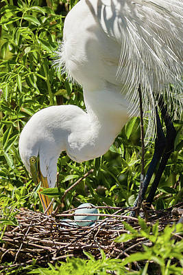 Photograph - Egret Rotating Eggs by Dawn Currie