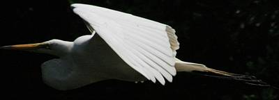 Photograph - Egret Soaring by Christopher Kirby