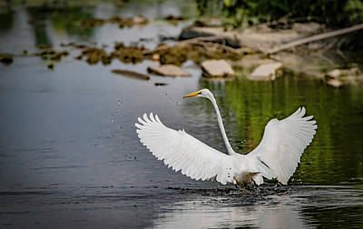 Photograph - Egret Splash by Ray Congrove