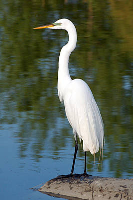 Photograph - Egret Standing by Kathleen Stephens