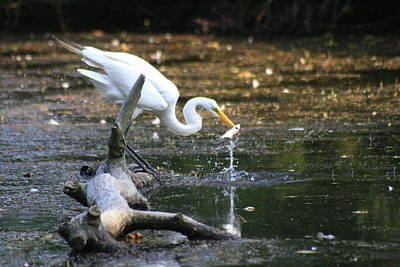 Photograph - Egret Takes Lunch by Christopher Kirby