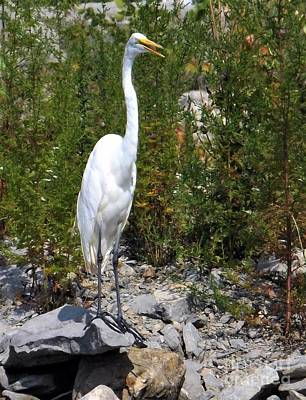 Photograph - Egret Talk by Sara Raber