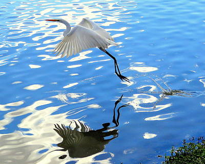 Photograph - Egret Water Take Off 4 1142017 by Mark Lemmon