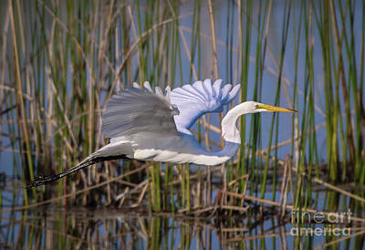 Photograph - Egret Wingspan by Tom Claud