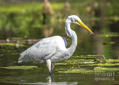 Photograph -  Egret With Minnow by Cheryl Baxter