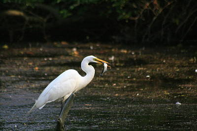 Photograph - Egret With Prey by Christopher Kirby