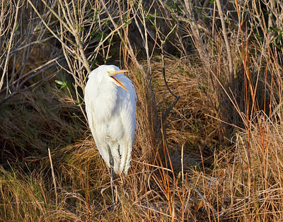 Print featuring the photograph Egret With Something To Say by George Randy Bass