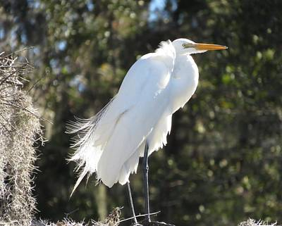 Photograph - Egret With Spanish Moss by Ellen Meakin