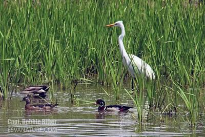 Photograph - Egret Wood Duck 6236 by Captain Debbie Ritter