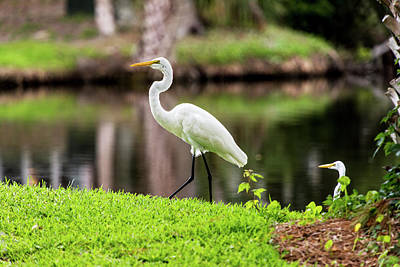Photograph - Egrets At Lagoon On Edisto Island by Willie Harper