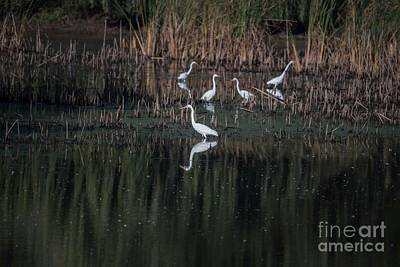 Photograph - Egrets Breakfast Buffet by David Bearden