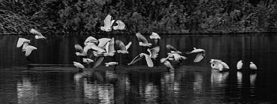 Photograph - Egrets Flight  On Golden Pond 1806-012018-2cr-bw by Tam Ryan