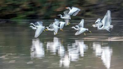Photograph - Egrets Ghostly Flight Blur 1264-011518-1cr by Tam Ryan