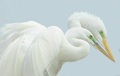 Photograph - Egrets In Love 2 by Fraida Gutovich