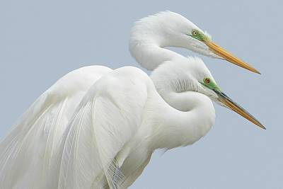 Photograph - Egrets In Love by Fraida Gutovich