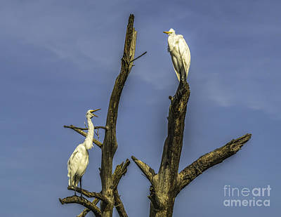 Photograph - Egrets In The Trees by Nick Zelinsky