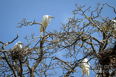 Photograph - Egrets In The Treetops by Richard Smith