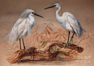 Egret Painting - Egrets by Joseph Wolf