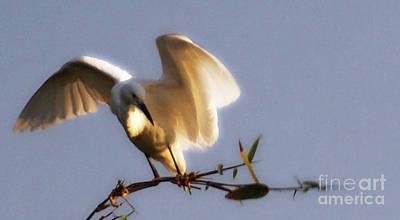 Photograph - Egrets Landing by Linda Shafer