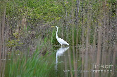 Photograph - Egret's Return To The Wetlands by Maria Urso