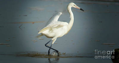 Photograph - Egretta In The Shallows by Patricia Twardzik