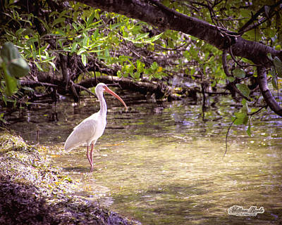 Photograph - White Ibis Mexico by William Havle