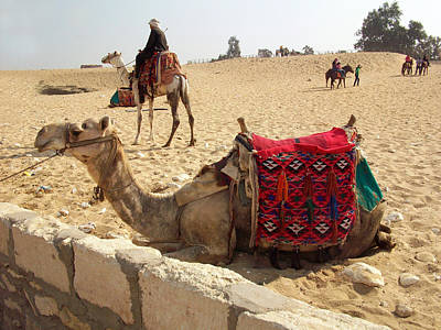 Photograph - Egypt - Camel Getting Ready For The Ride by Munir Alawi
